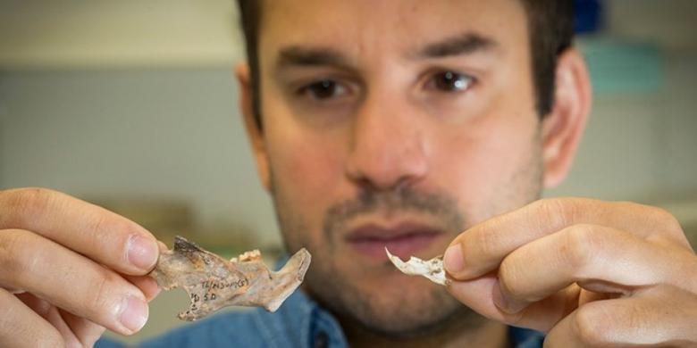 Dr Julien Louys dari ANU menunjukkan fosil rahang tikus (kiri) yang ditemukan dibandingkan dengan rahang tikus saat ini (kanan)... (ANU).