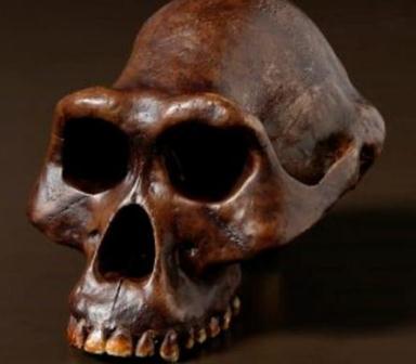 Fosil tengkorak Australopithecus afarensis atau Lucy di Australian Museum. (Stuart Humphreys/ Australian Museum).