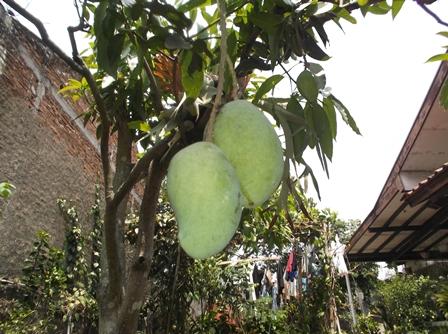 Bisa Juga Ditanami Pohon Mangga.