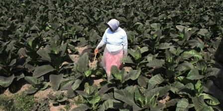 Beginilah kondisi daun tembakau milik petani di Kabupaten Jember, Jawa Timur, berubah menjadi hitam akibat guyuran debu vulkanik Gunung Raung. (KOMPAS.com/ Ahmad Winarno).