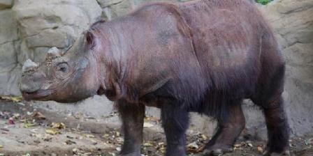 Harapan, badak sumatera, saat berada di kandangnya untuk terakhir kalinya di Kebun Binatang dan Taman Botani Cincinnati, Amerika Serikat, pada 29 Oktober. Harapan kini sudah berada di Indonesia dan diharapkan menjadi harapan baru bagi konservasi badak dunia. (AP/JOHN MINCHILLO).