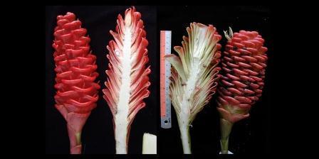 Jahe baru dari Enggano (Zingiber engganoensis) dan kerabat terdekatnya, Zingiber spectabile. (LIPI).