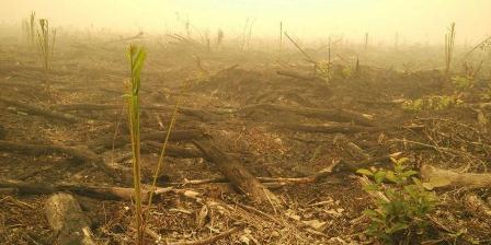Lahan bekas kebakaran di Nyaru Menteng Palangkaraya sudah ditanami kelapa sawit. Foto diambil dari Twitter Kepala Humas BNPB Sutopo Purwo Nugroho. (SUTOPO PURWO NUGROHO).