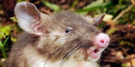 Tikus hidung babi (Hyorhinomys stuempkei). /Museum Victoria/LIPI.
