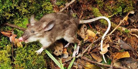 Tikus Hidung Babi (Hyorhinomys stuempkei)/ Museum Victoria/LIPI.