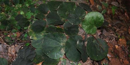 Begonia simolapensis. (Wisnu H Ardi/LIPI).