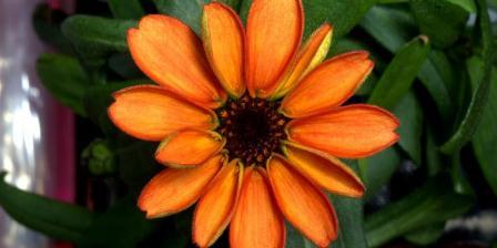 Bunga tanaman zinnia adalah bunga pertama yang mekar di stasiun antaraiksa internasional.(TWITTER/ SCOTT KELLY).