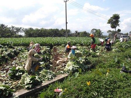 Jenis sayuran sawi produk para petani dari wilayah Kecamatan Samarang, Garut, Jawa Barat, selama ini kerap memenuhi kebutuhan pasokan pada beberapa pasar di Bekasi.