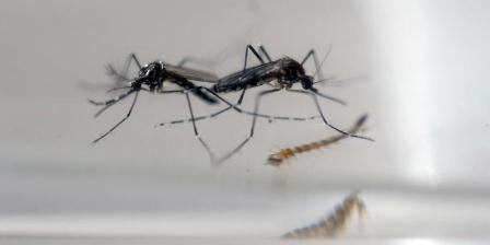 Nyamuk Aedes Aegypti. (AFP PHOTO/MARVIN RECINOS).