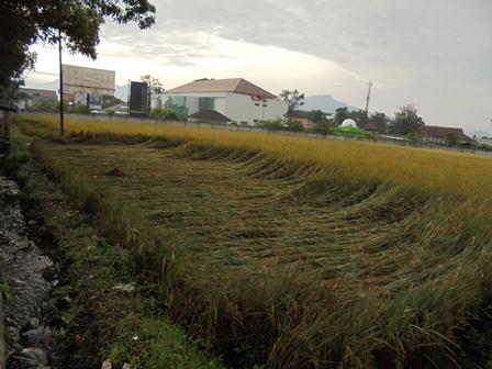 Kondisi Tanaman Padi Yang Rubuh Diterjang Angin Kencang Disertai Hujan Deras.