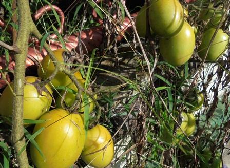 Banyak Penduduk Kota Garut Terpaksa Mengonsumsi Tomat Dari Tanaman di Halaman Rumah.