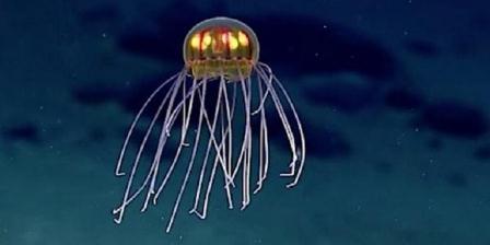 Ubur-ubur ditemukan di dekat Palung Mariana. Penampakannya mirip UFO. (NOAA).