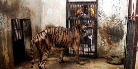 Petugas memberi makan harimau sumatera (Panthera tigris sumatrae) betina bernama Melani berusia 15 tahun kini sedang sakit dan dan didiagnosis mengalami gangguan pencernaan di Kebun Binatang Surabaya, Rabu (15/4/2013). Harimau ini kurus dan dalam kondisi kritis. (AP PHOTO).