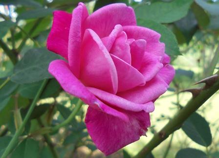 """Indah Merekah, """"Mawar Berduri""""."""