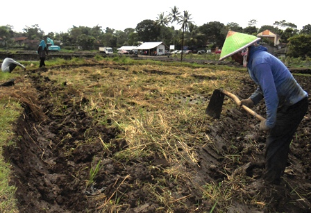 Kalangan Petani Pinggiran Bibir Pantai Situ Bagendit Tetap Mencangkul Untuk Segera Ditanami Jagung.