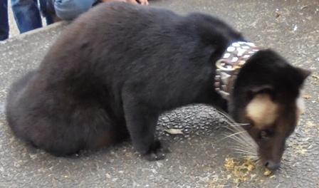 Jenis Musang yang Menyerupai Beruang.