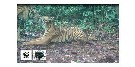 Sepasang harimau sumatera tertangkap sedang bercumbu di wilayah Taman Nasional Bukit Barisan Selatan. ( WWF Indonesia ).