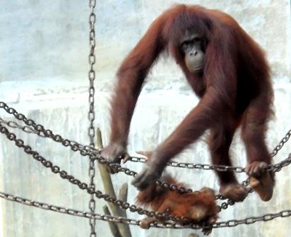 Orangutan Cikembulan Melatih Keterampilan Anaknya.