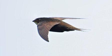Burung kapinis (Apus apus).   Wikimedia.