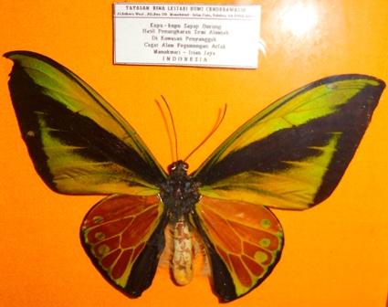 kupu-kupu langka berjenis sayap burung goliath (Ornithoptera goliath) Jantan.