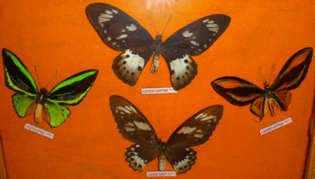 Ragam Kupu-kupu paling langka di Dunia berjenis sayap burung, Asal Jazirah Pegunungan Tengah Papua.