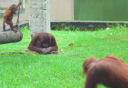 Orangutan, Berhasil Dikembangkan Taman Satwa Cikembulan Garut.