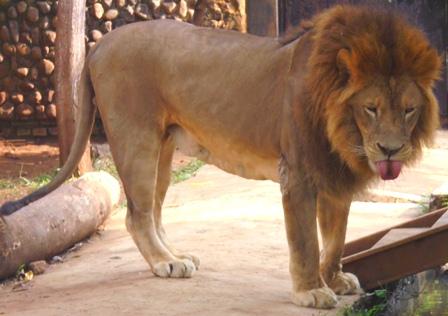 Singa Jantan Afrika.